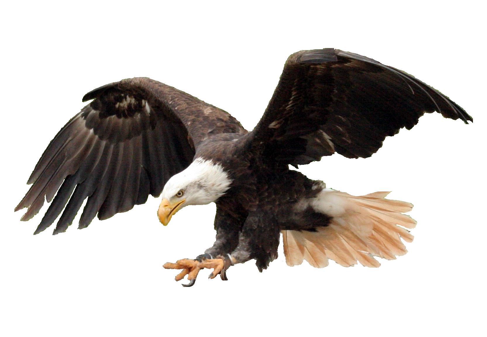 Bald Eagle PNG Transparent Image - Eagle PNG