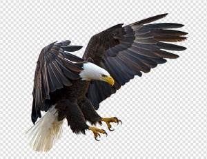 Eagle PNG image #2 - Eagle PNG