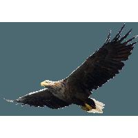 Eagle PNG - 13929