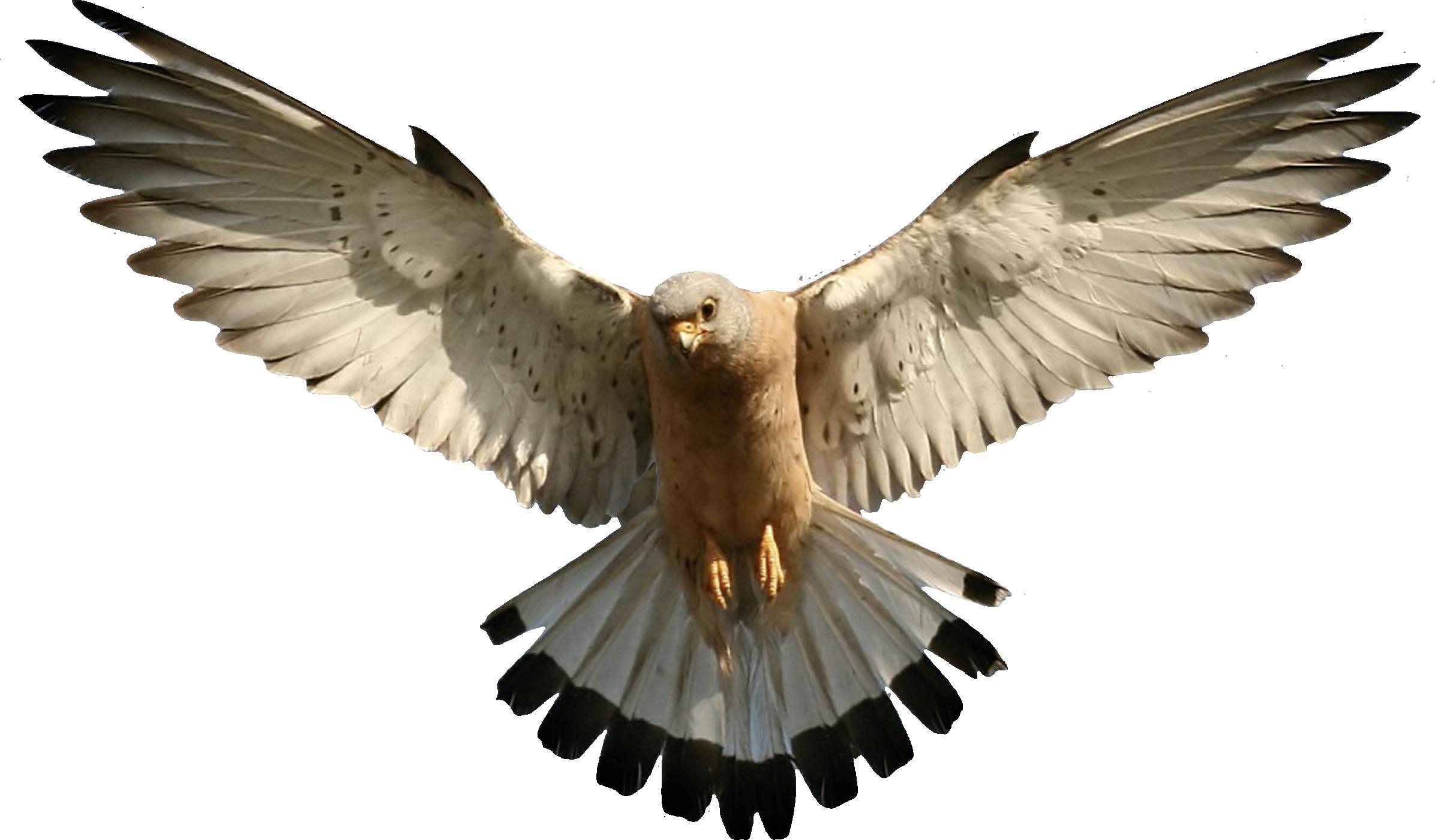 Eagle PNG - 13926