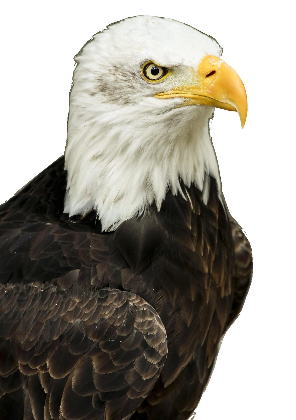 Eagle PNG Transparent Image - Eagle PNG