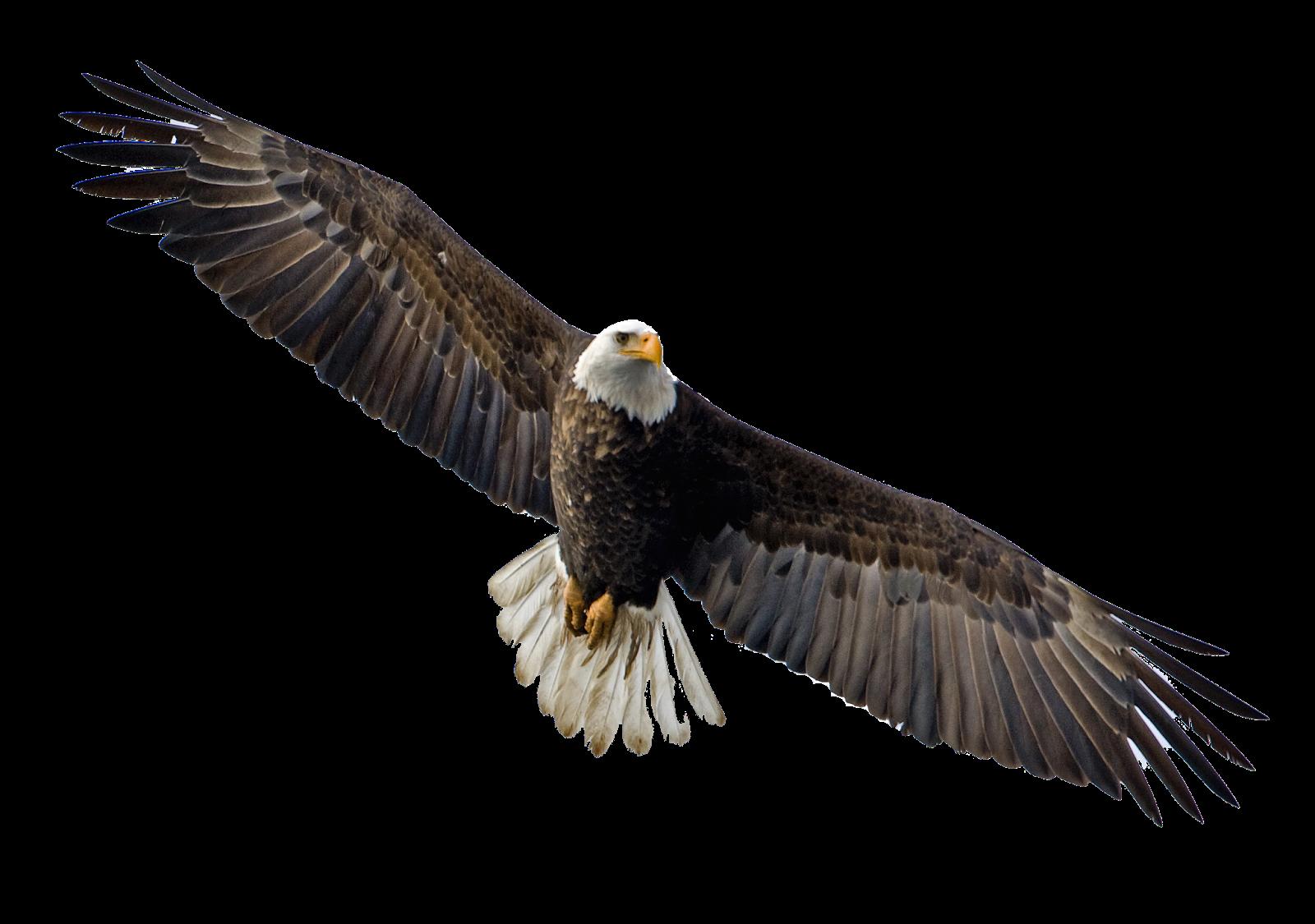 Eagle PNG - 13925