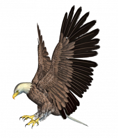Bald Eagle PNG HD - Eagle PNG HD