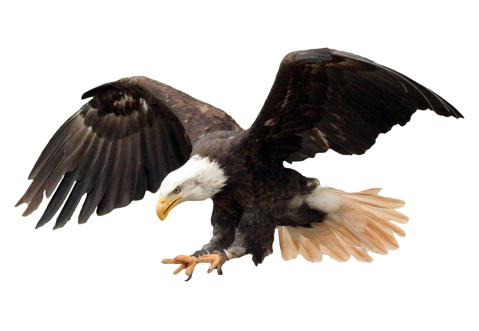 Bald Eagle PNG Transparent Image - Eagle PNG HD