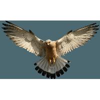 Eagle PNG HD - 136175