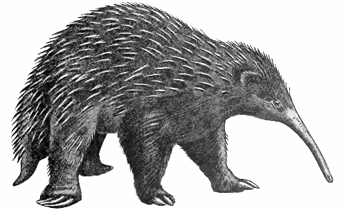 Bruijns long-nosed echidna - Echidna PNG Black And White
