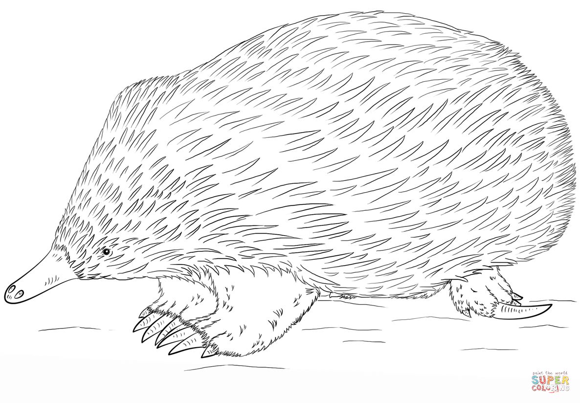 Click the Echidna coloring PlusPng.com  - Echidna PNG Black And White