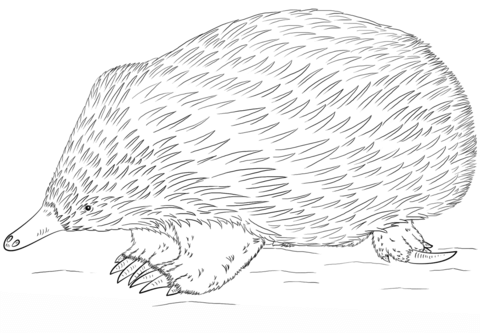 Echidna PNG Black And White Transparent Echidna Black And