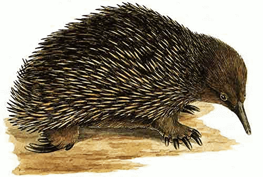 pin Porcupine clipart echidna #14 - Echidna PNG Black And White