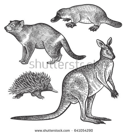 Tasmanian devil, Platypus, Wallaby or Kangaroo, Echidna hand drawing set.  Animals of - Echidna PNG Black And White