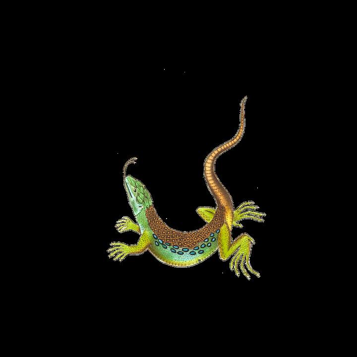 Echse, Eidechse, Reptil, Tier, Isoliert, Freigestellt - Echse PNG