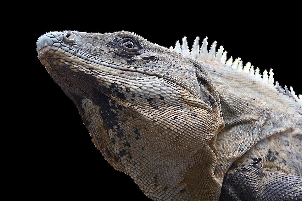 Leguan, Reptil, Echse, Drache