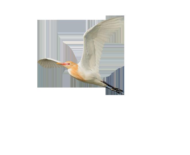 Eastern-Cattle-Egret.png (662×540) - Egret PNG HD