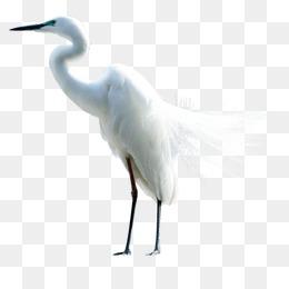 Egret, Egret, Bird, Asuka PNG And PSD - Egret PNG HD