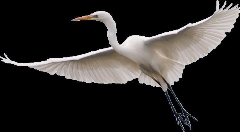 Egreta_mare - Egret PNG HD