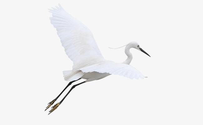 Flying Egret, Egret, Xiamen City, Bird PNG Image And Clipart - Egret PNG HD