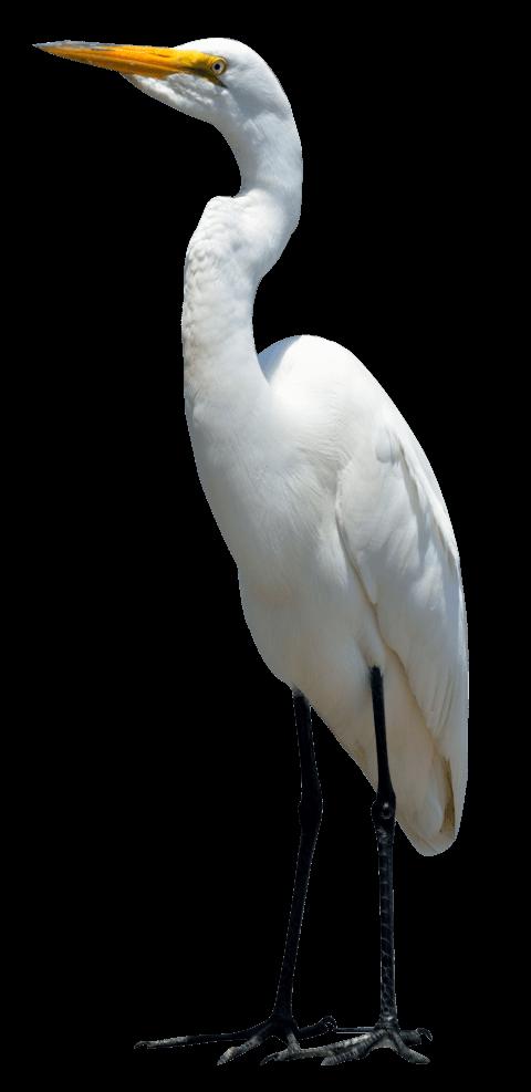 Egret PNG HD