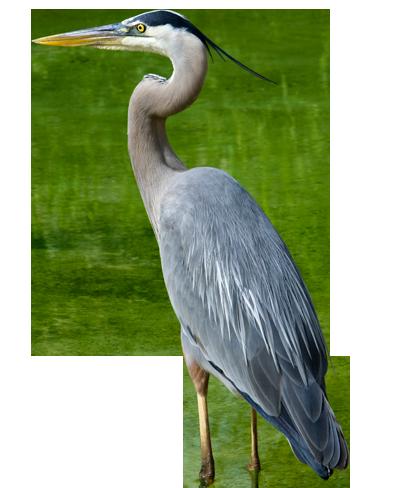 Heron 39 - Egret PNG HD