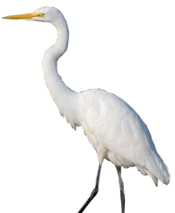 The Holly Path Is A Tribute To The Success Of The Sanctuary Rehabilitation  Program Started In 2006. In Recent Years, Growing Populations Of Night  Herons PlusPng.com  - Egret PNG HD