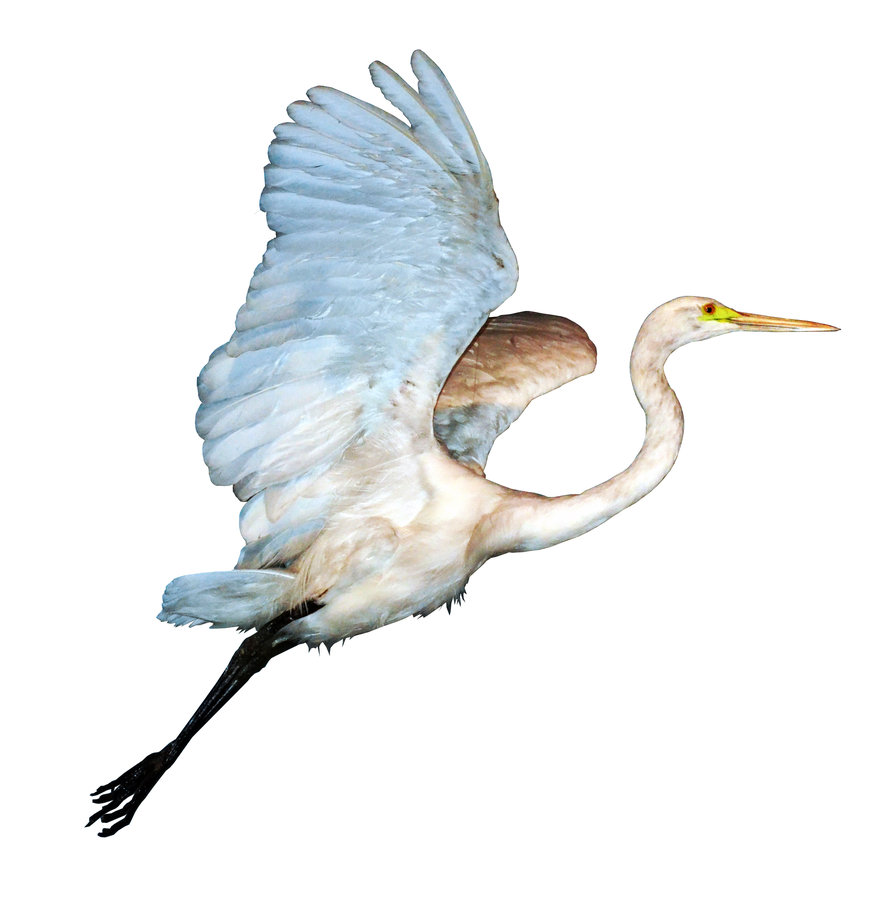 White Heron In Flight PNG Stock By Jojo22 PlusPng.com  - Egret PNG HD