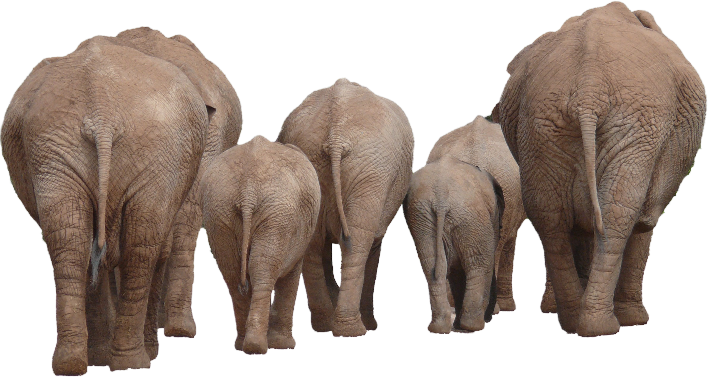 Elephant Group PNG Image - Elephant PNG