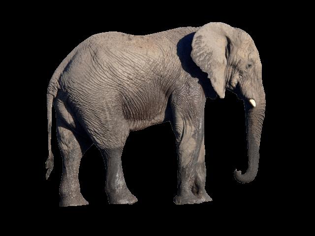 Elephant PNG - 25099