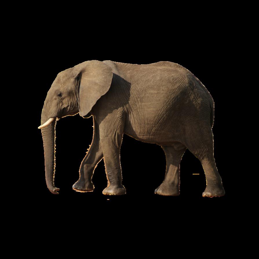 Elephant PNG - 13342