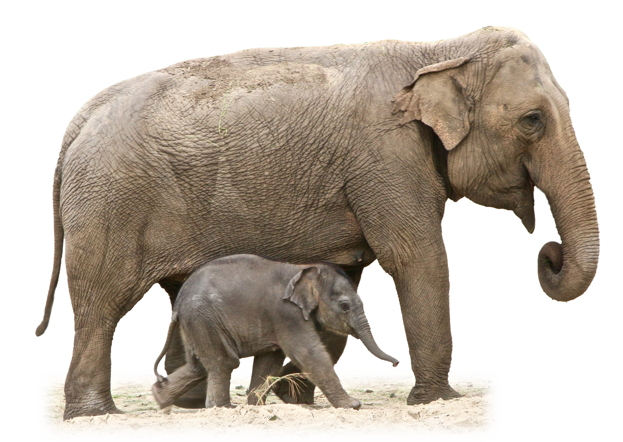 Elephant PNG - 13344