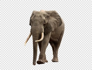 Elephant PNG - 13361
