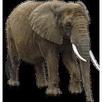 Elephant PNG - 25109