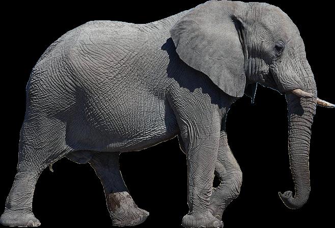 Elephant PNG - 13351