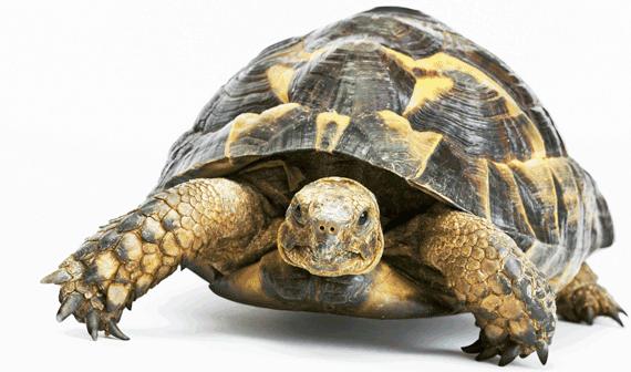 Tortoise PNG - 7215