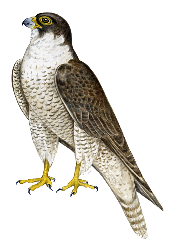 Download PNG image - Falcon Png - Falcon HD PNG