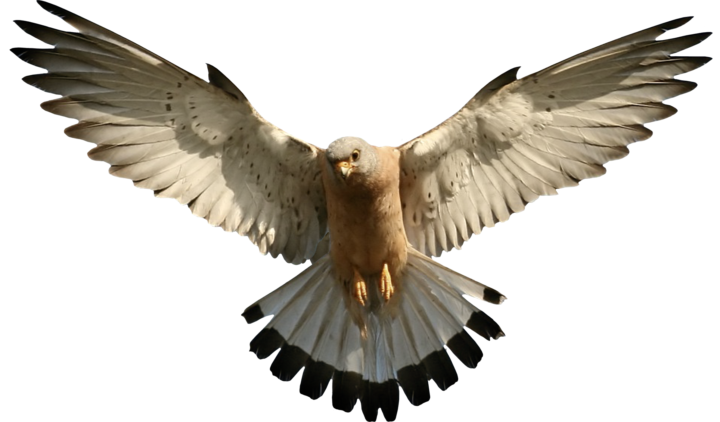 Falcon Picture PNG Image - Falcon HD PNG