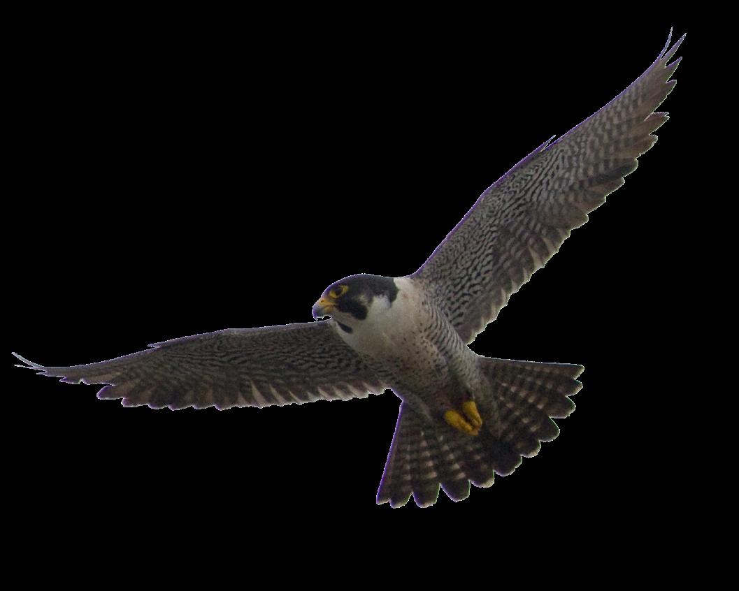 Falcon PNG - Falcon HD PNG