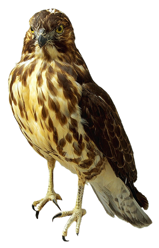 Falcon Transparent PNG Image - Falcon HD PNG