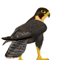 Falcon PNG - 12946