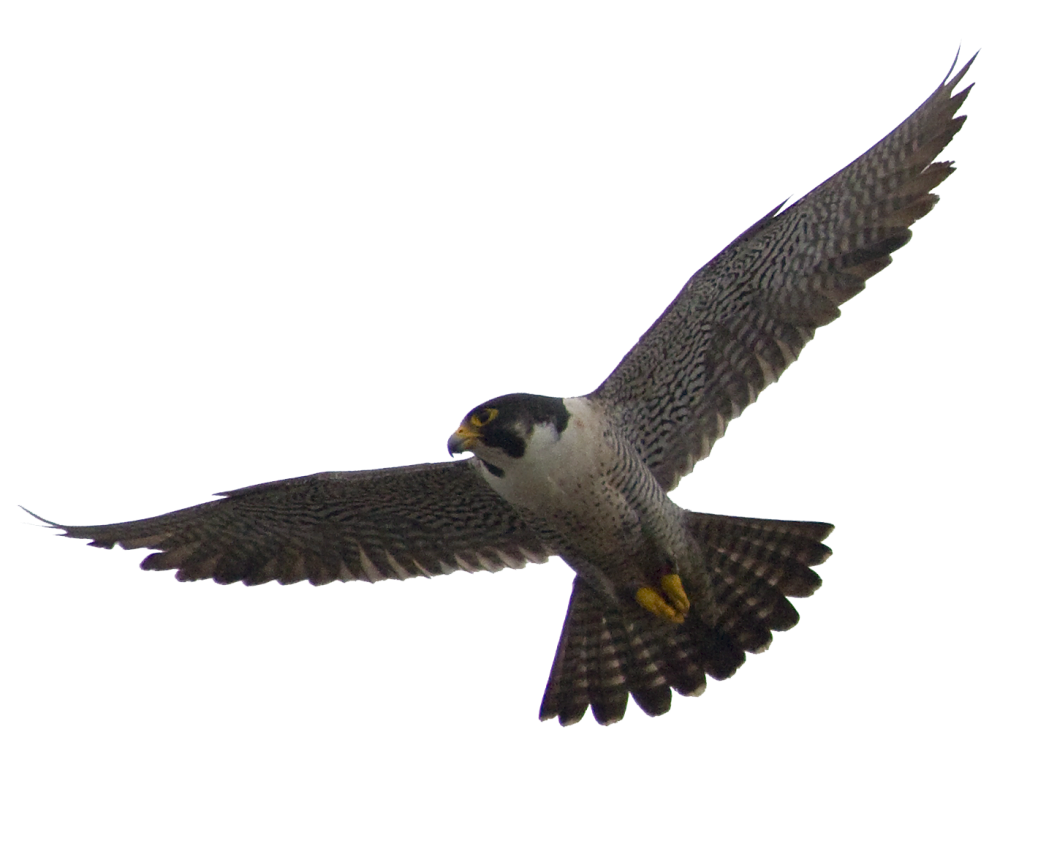 Falcon PNG - 12943