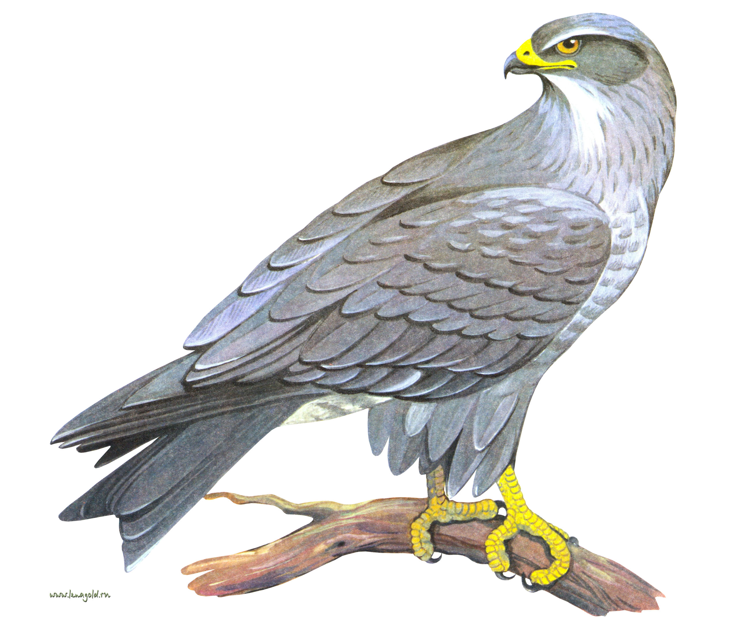 Falcon PNG - 12959