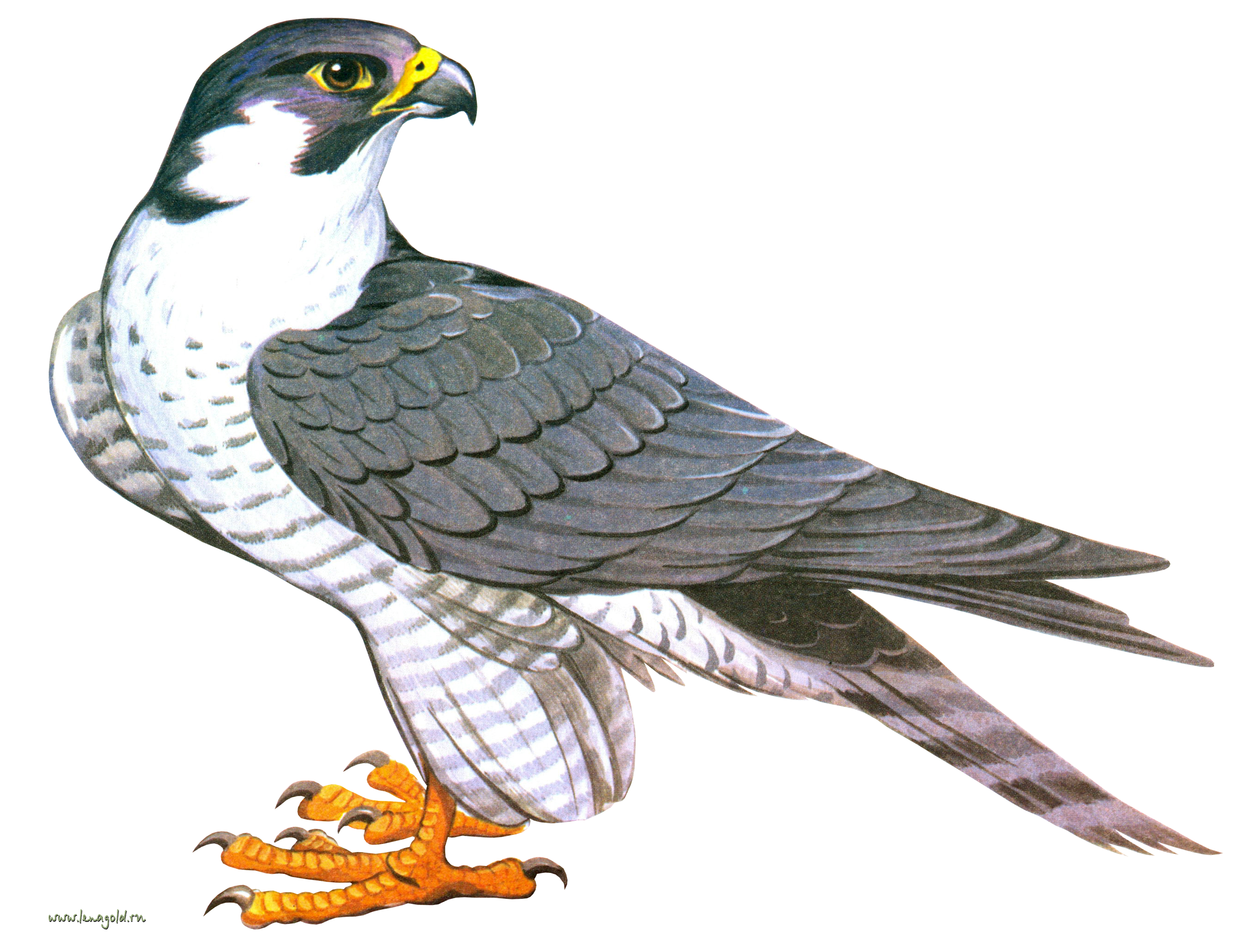 Falcon PNG - 12955
