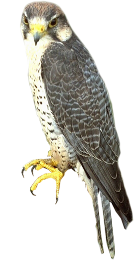 Falcon PNG - 12952