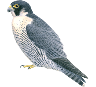 Falcon PNG - 12954
