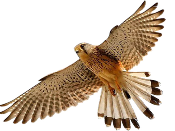 Falcon PNG - 12942