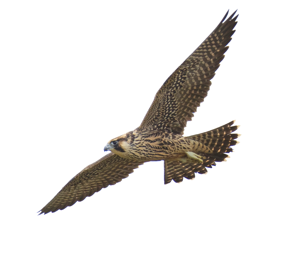 Falcon PNG - 12944
