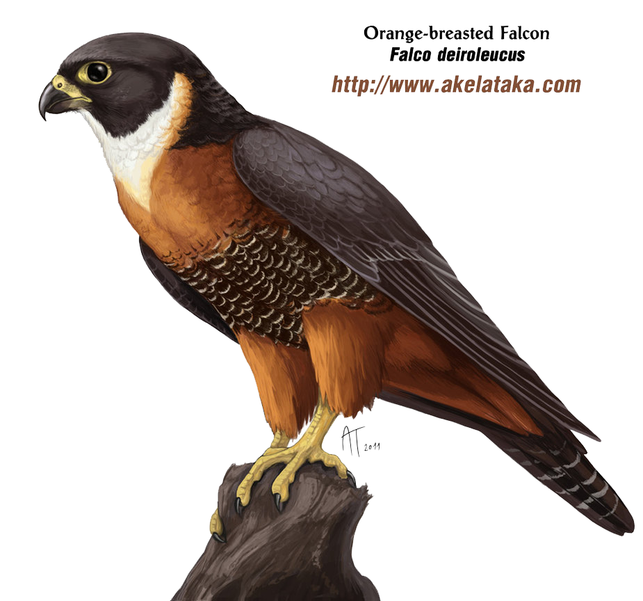 Falcon PNG - 12945