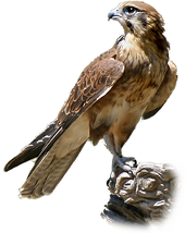 Falcon PNG - 12949