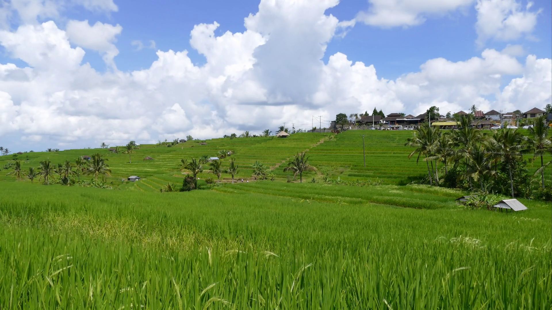 Rice field paddy landscape in