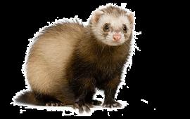 Ferret - Ferret HD PNG