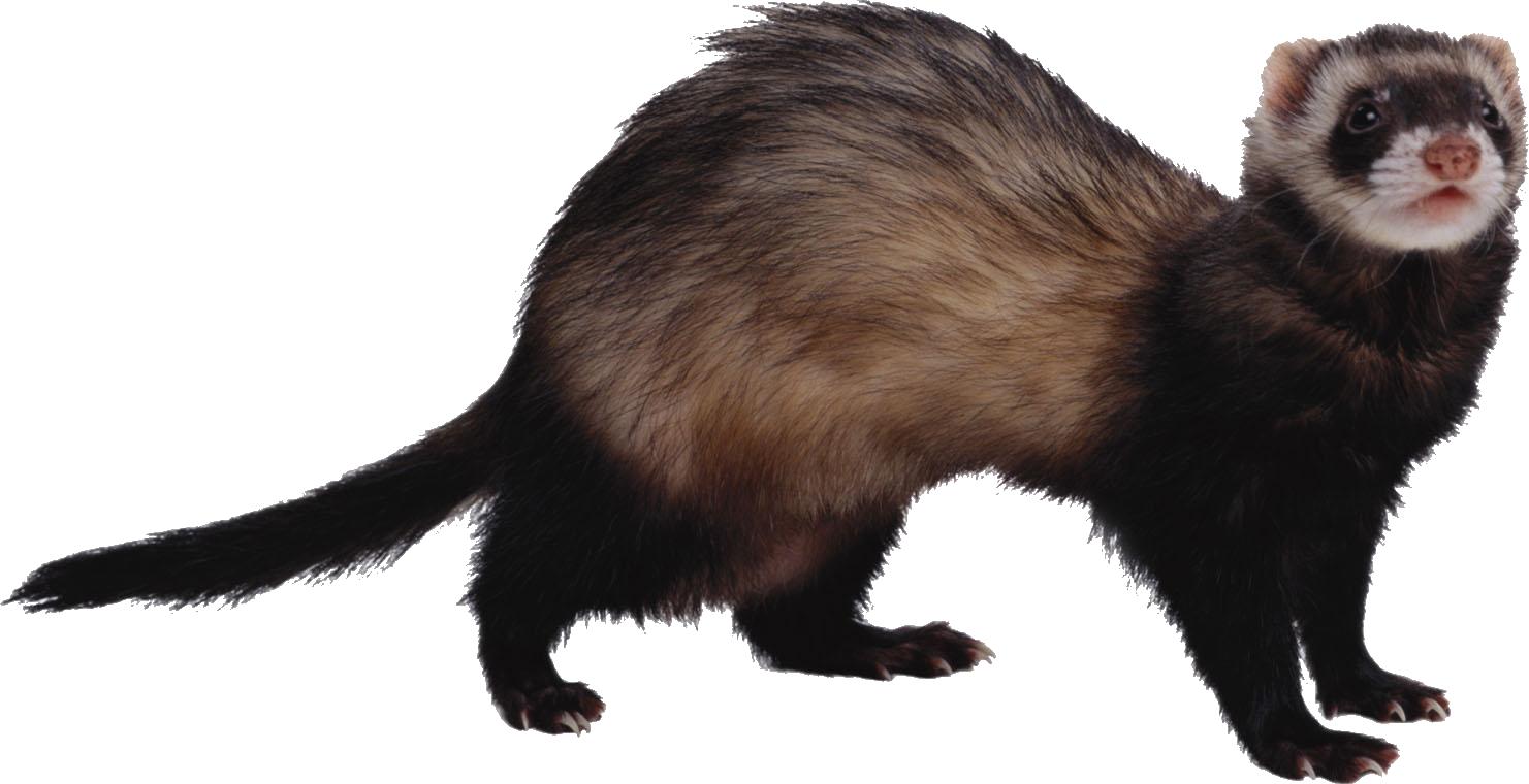 Ferret PNG - Ferret HD PNG