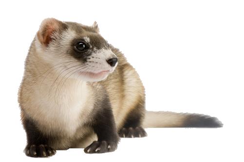 Ferret.png - Ferret HD PNG